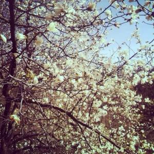 Магнолии в ботаническом саду с каждым днем все прекраснее!